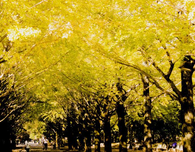 イチョウ並木がすごいのはどこ?板橋区のオススメ紅葉スポットとは!