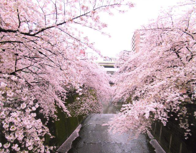 石神井川の桜がすごい!板橋区から石神井川の桜並木を歩いてみた!